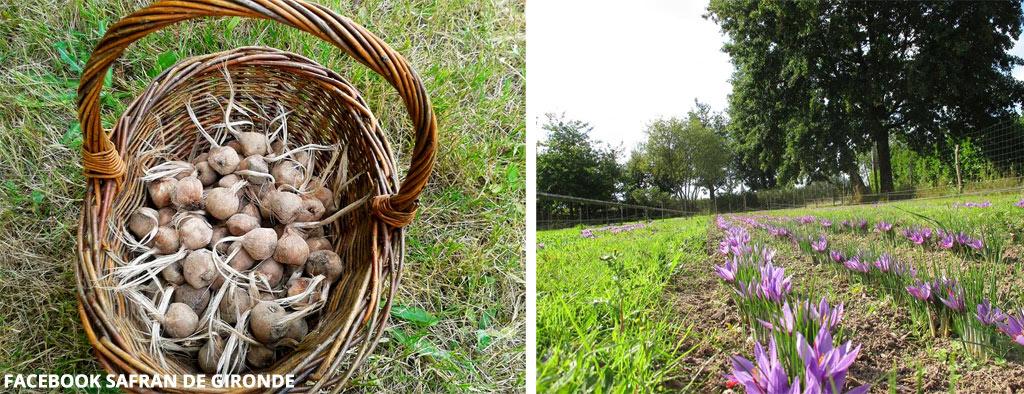 Les bulbes et la mise en terre du safran